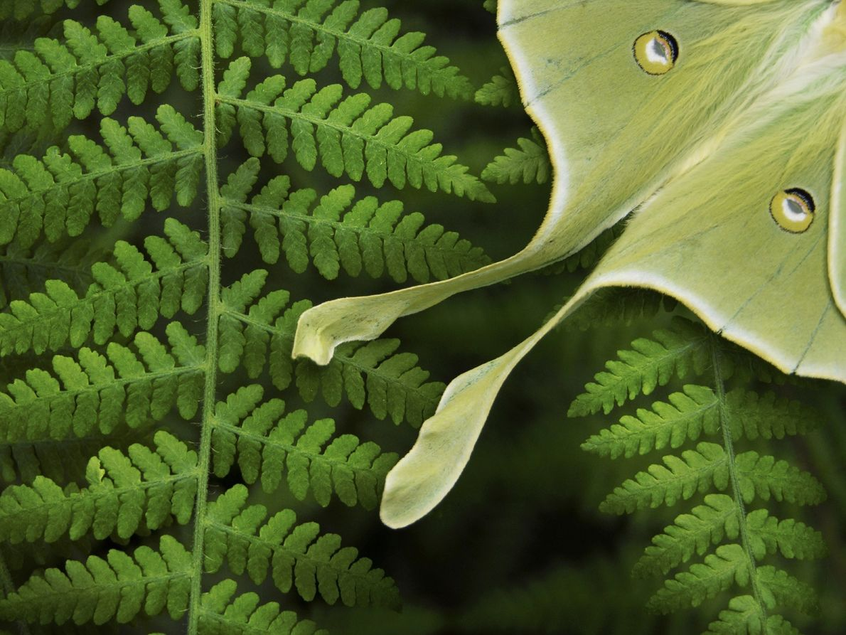 The luna moth, Actias luna, displays its 'defensive eyespots'. The moth's long tails befuddle the sonar ...