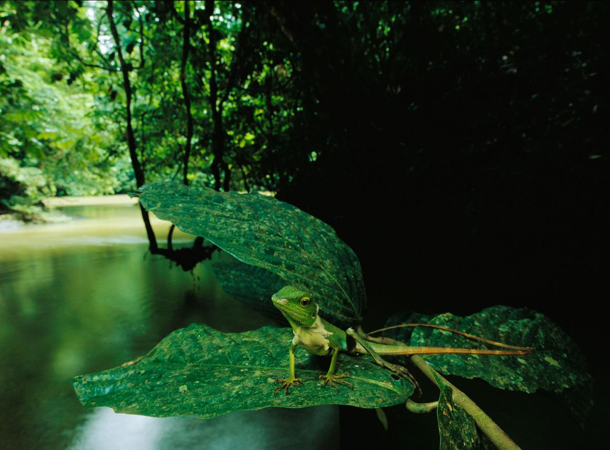 An agamid lizard sits above a muddy creek in the Danum Valley Conservation Area of Borneo ...