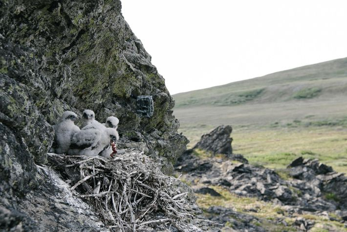 Young gyrfalcons high up in a cliffside nest devour prey delivered by their mother. A camera ...
