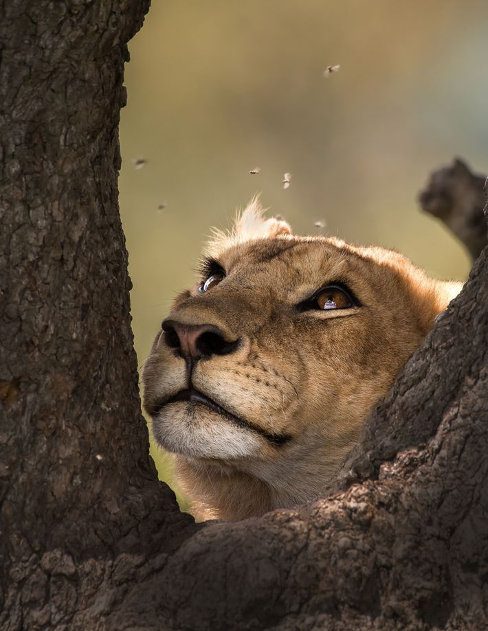 """""""Lions have been known to climb trees for several reasons,"""" writes Your Shot photographer David Chen. ..."""