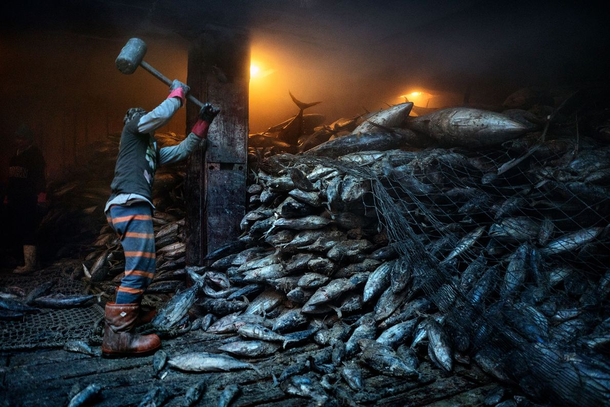 A worker uses a mallet to dislodge frozen tuna from a Chinese cargo vessel docked at ...