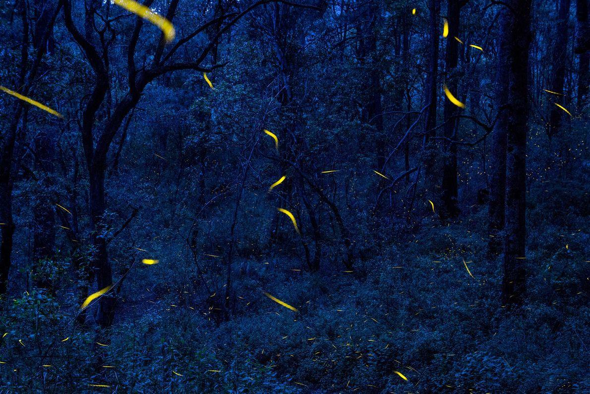Fireflies in flight in the forest at Santa Clara Sanctuary in Nanacamilpa, Mexico.