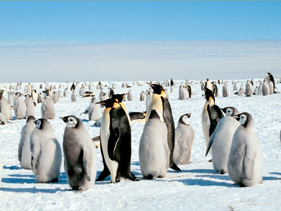 Emperor penguins are the largest penguins, standing about 4 feet (1.2 meters) tall.