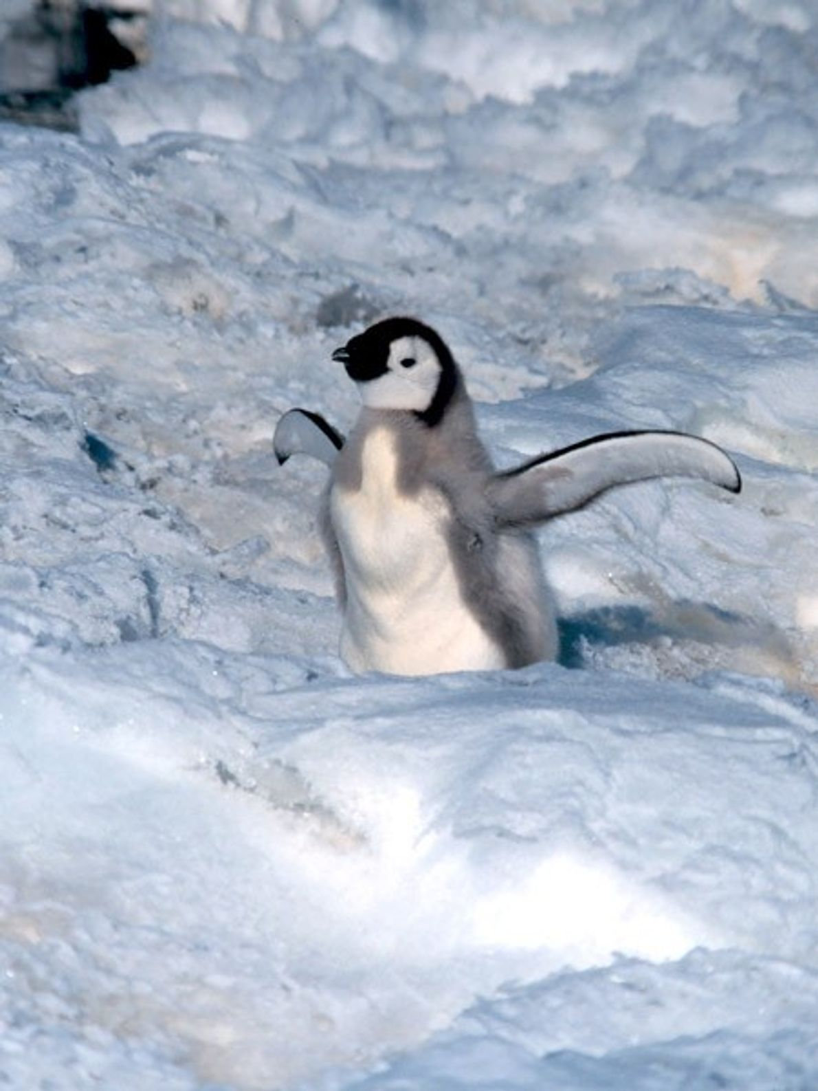 Wings spread wide, an Antarctic emperor penguin baby awaits its next meal.