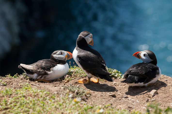 Puffins on Skomer Island, Pembrokeshire Coast National Park, Wales.