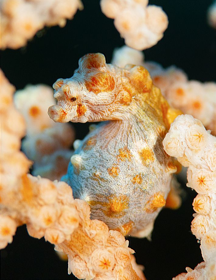 Your Shot photographer Reiko Takahashi captured this moment of a male pygmy seahorse giving birth. For ...