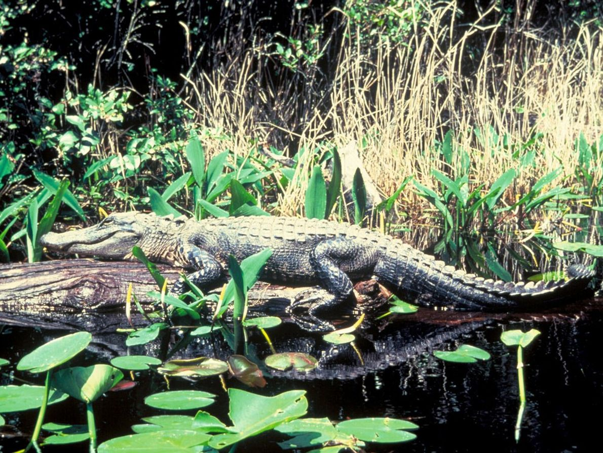 American alligators are found in freshwater coastal wetlands across the southeastern United States, from Louisiana to ...