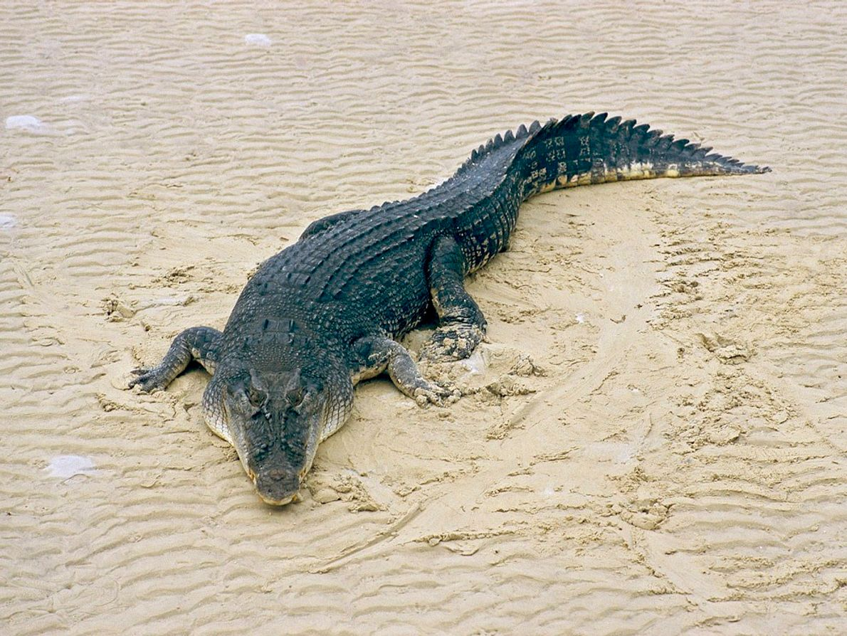 """The largest crocodilians on Earth, saltwater crocs, or """"salties,"""" are excellent swimmers and have often been ..."""