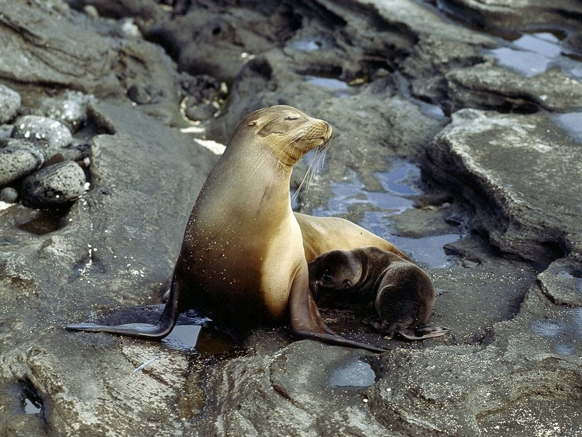 A large population of California sea lions inhabits the Galápagos Islands. This group is categorised as ...