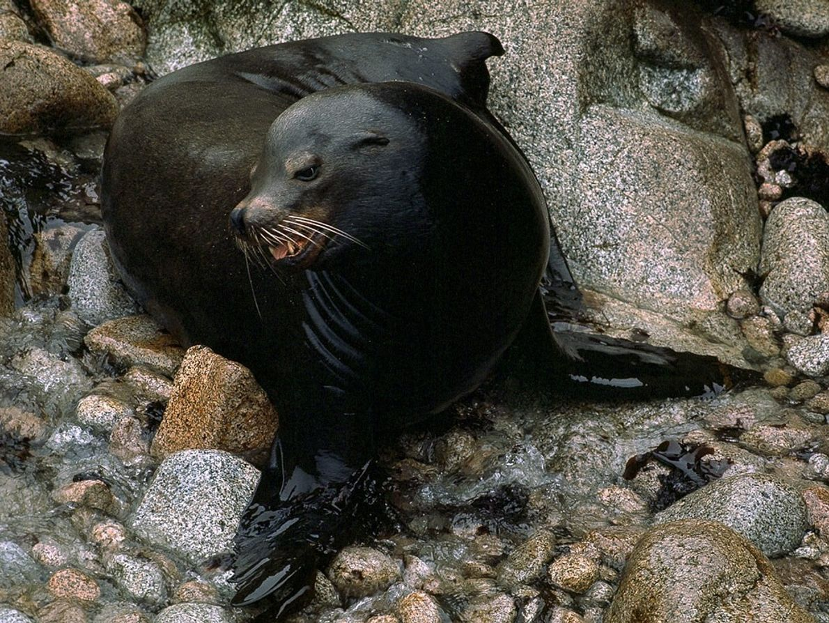 Fastest of the seals and sea lions, California sea lions can be seen gathered in colonies ...