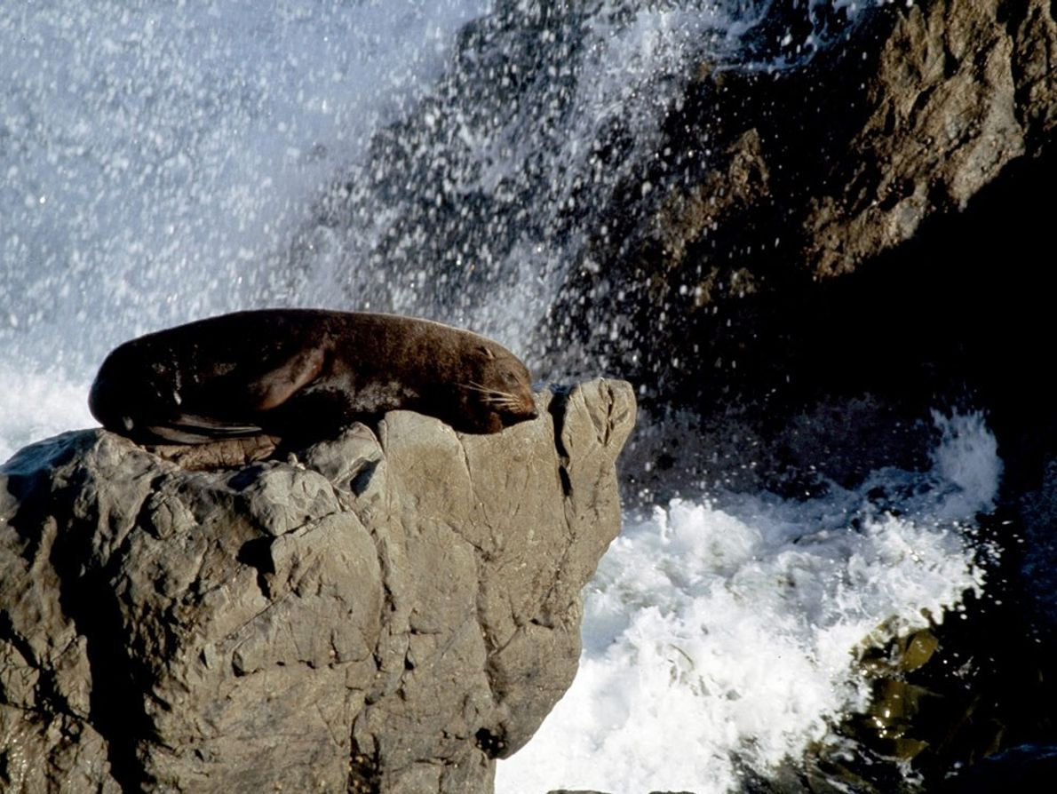 Fur seals belong to the class known as eared seals and have excellent hearing and sharp ...