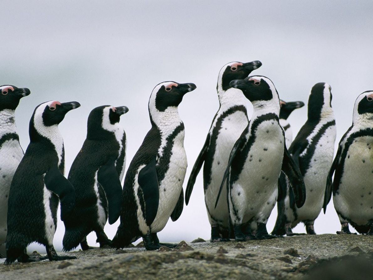 Contrary to the popular image of penguins as ice-dwellers, jackass penguins live in the temperate climate ...