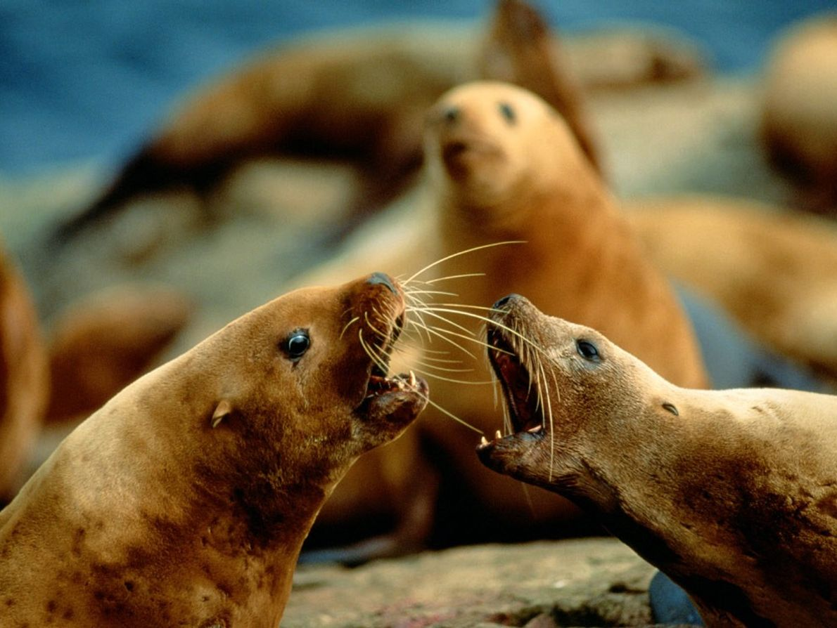 """""""These animals are always yelling at each other,"""" writes photographer Joel Sartore of the Steller sea ..."""