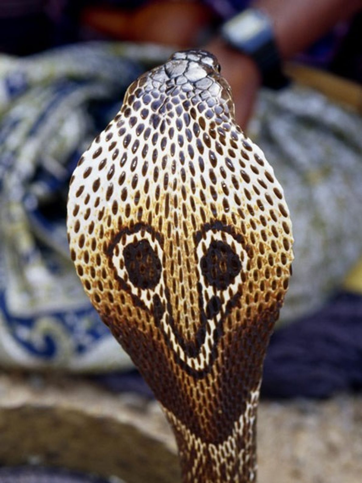 The spectacled cobra, named for the eyeglass design on its flared hood (seen here), shares with ...
