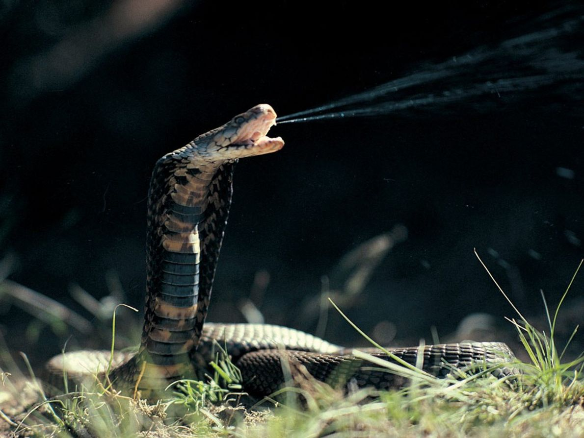 The Mozambique spitting cobra can eject venom up to 8 feet (2.4 meters) away. It spits ...