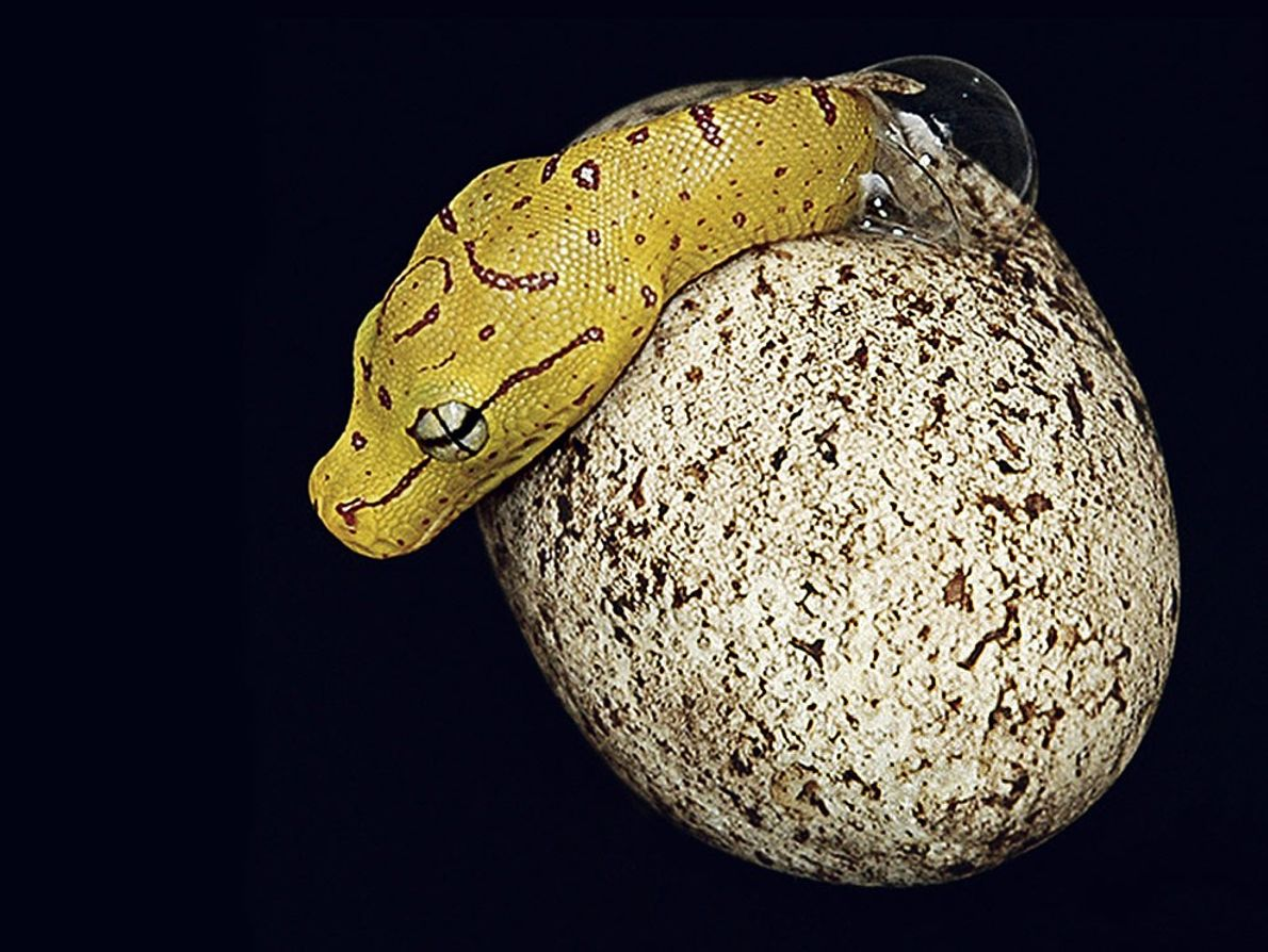 A green tree python, native to the rain forests of New Guinea and northeastern Australia, emerges ...