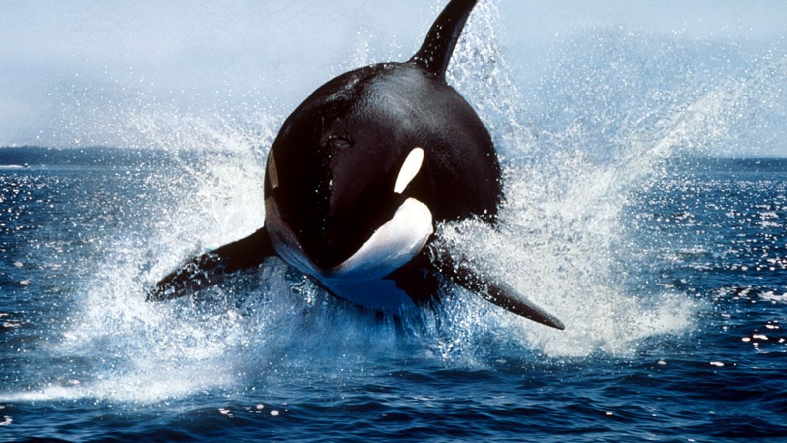 Largest of the dolphins, the killer whale, or orca, is a highly successful predator, feeding on ...
