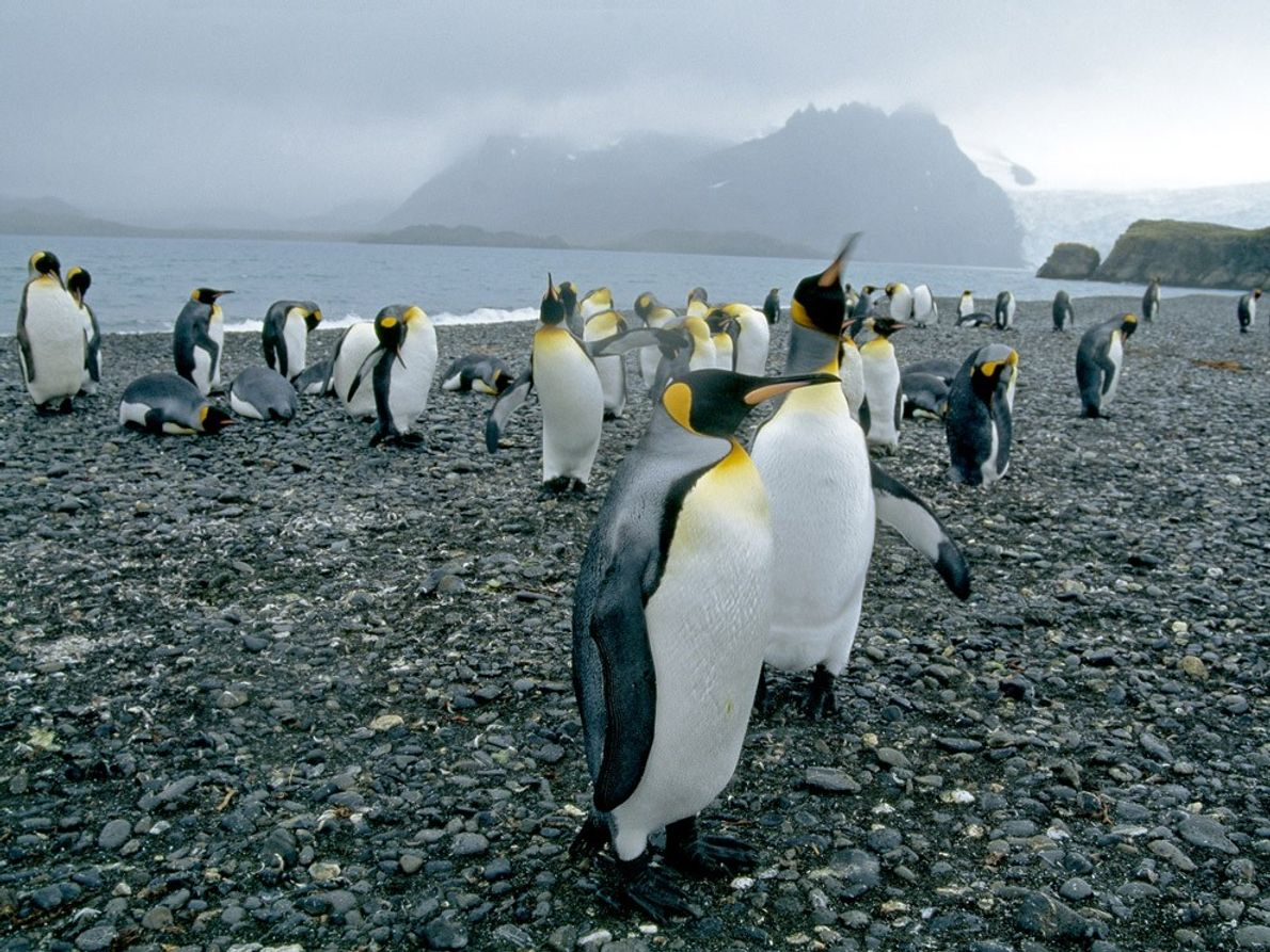 King penguins live on the more temperate islands north of Antarctica. Although their habitat is warmer ...