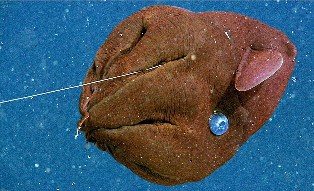 A juvenile vampire squid, so named for tentacles that spread into the shape reminiscent of a ...