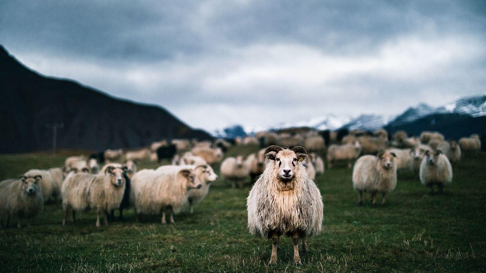 Icelandic sheep are high-tempered, independent animals, and they're used to living in tough conditions.