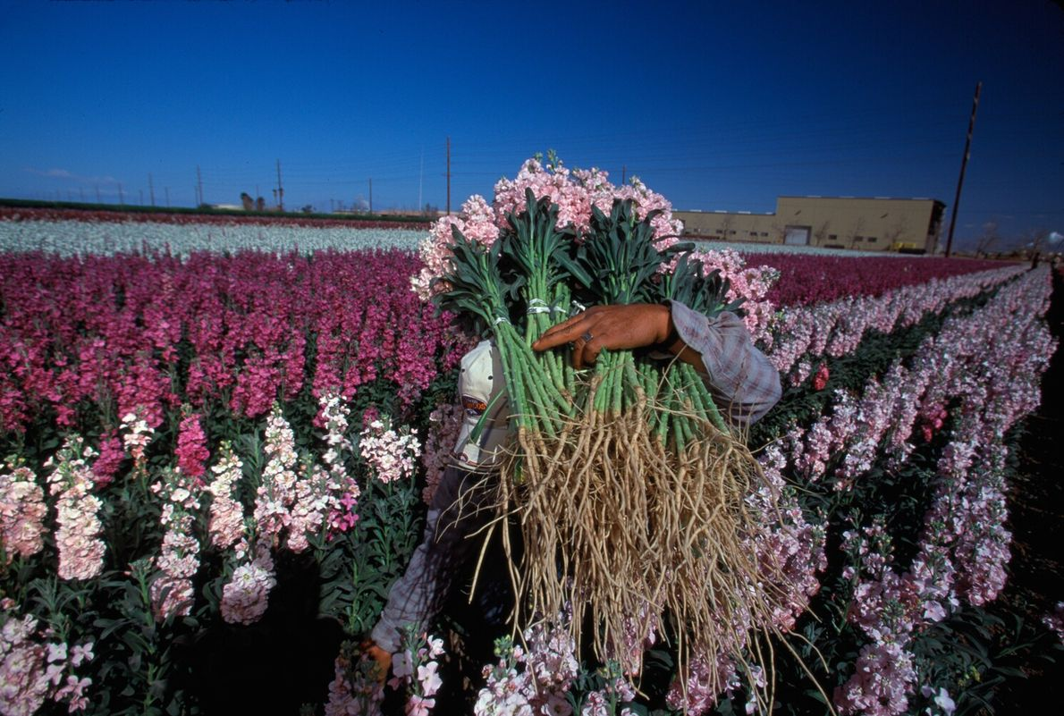 Picture of a worker carrying pink blooms at a flower farm in Southern California
