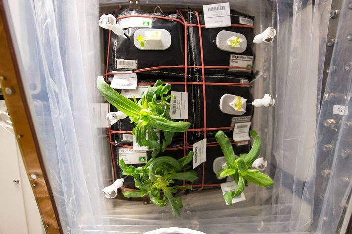 Zinnia flowers are starting to grow in the International Space Station's Veggie facility as part of ...