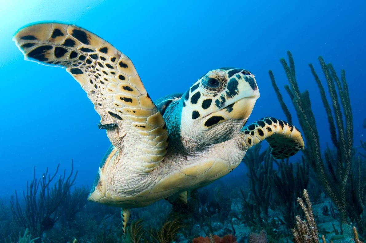 A hawksbill sea turtle swims with a tracking tag on its flipper in the Little Bahama …
