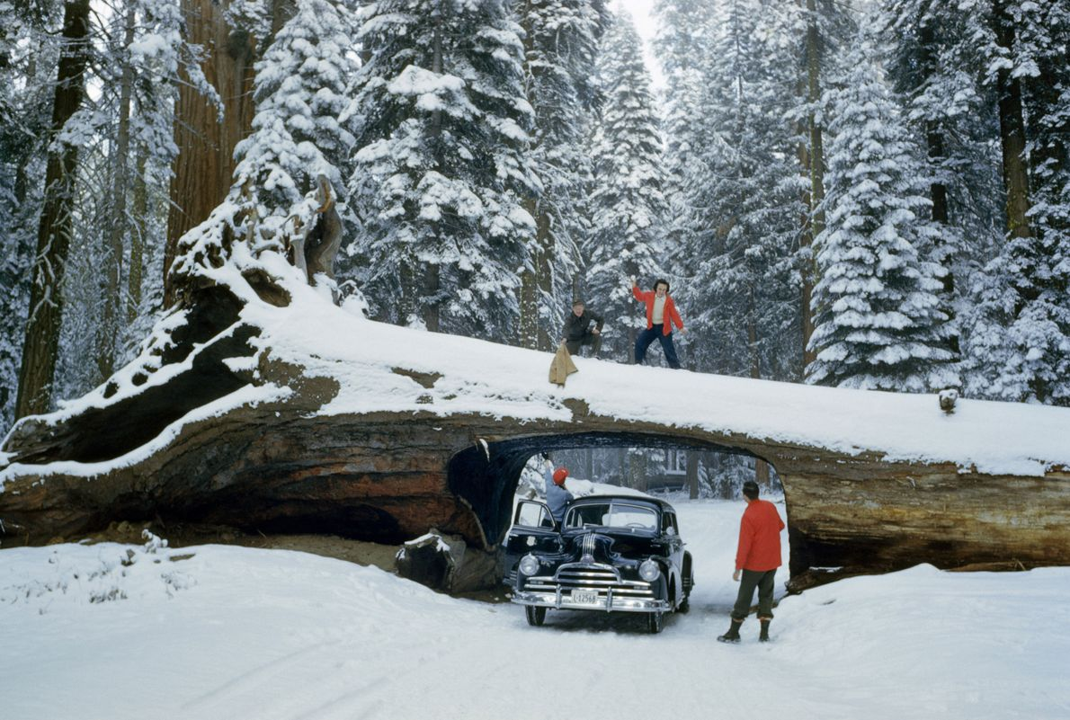 Tourists explore massive dead tree with tunnel cut out for road.