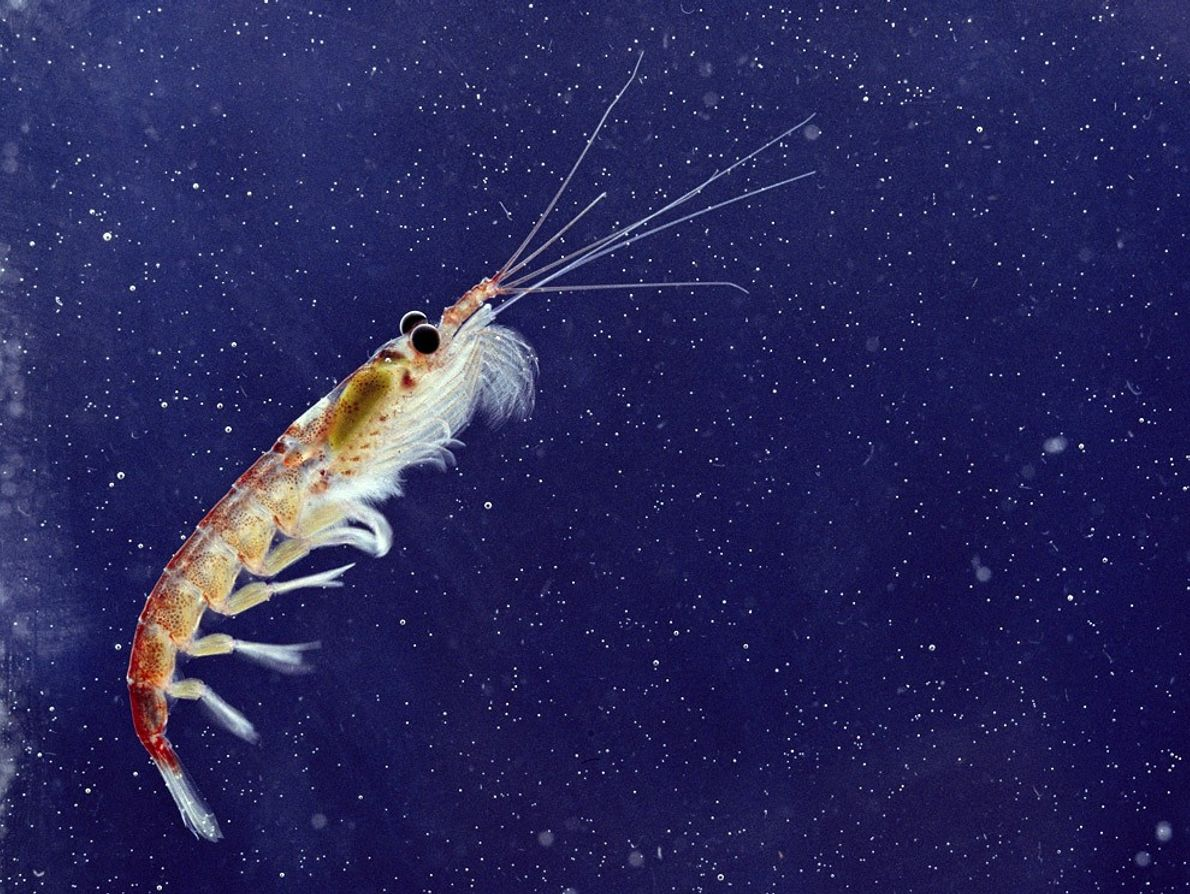 Integral to the food chain, tiny shrimp krill are the primary food source for many marine ...
