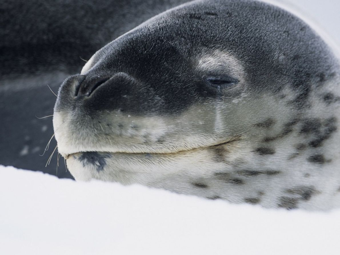 Leopard seals, named for their spotted coats, are one of the primary predators of Antarctica.