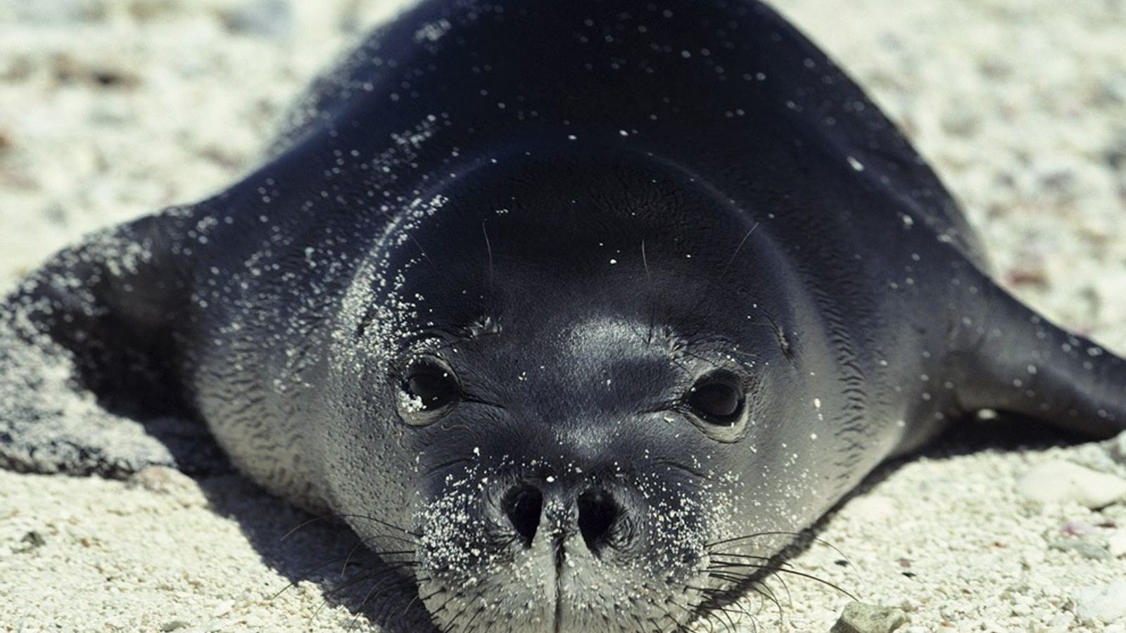 While most seals make their homes in colder climates, the Hawaiian monk seals prefer the warm, ...