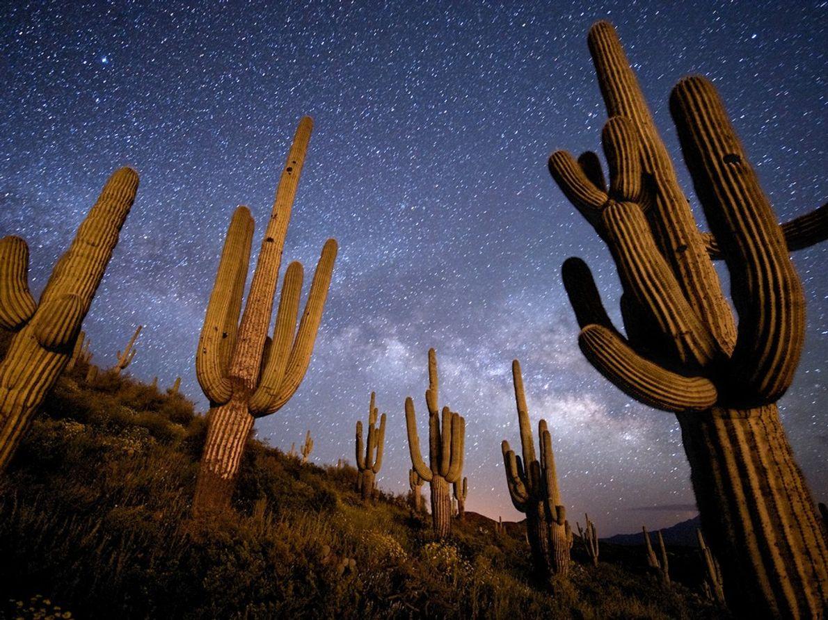 Saguaro Cacti, Arizona