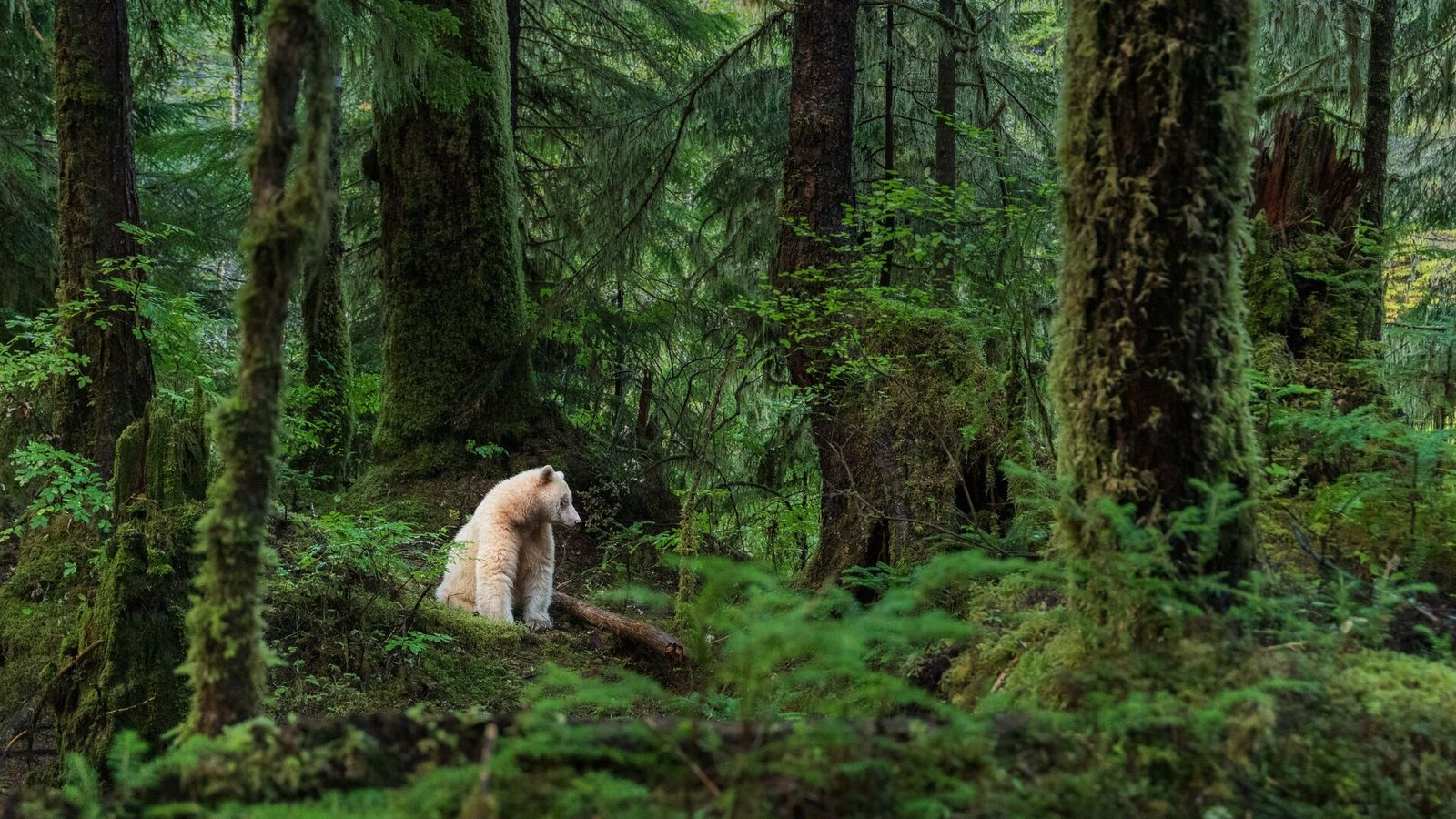 The Kermode bear, otherwise known asmooksgm ol' (in Sm'algyax, language of the Tsimshianic peoples),sits amongst the ...