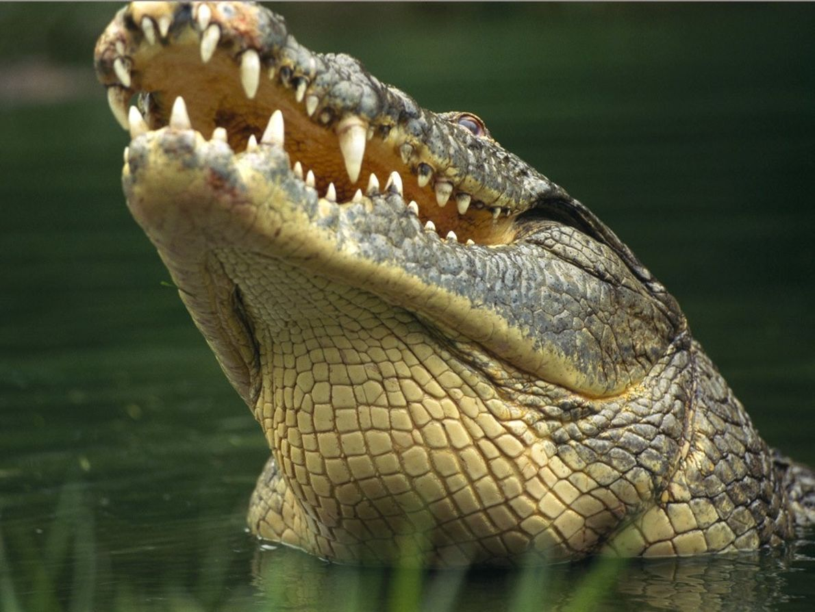 Nile crocodiles are the largest crocodilians in Africa, sometimes reaching 20 feet (6 meters) long.