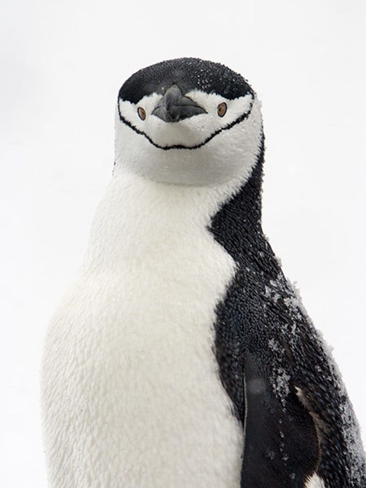 Named for the thin black strip beneath its 'chin' the chinstrap penguin is indigenous to Antarctica.