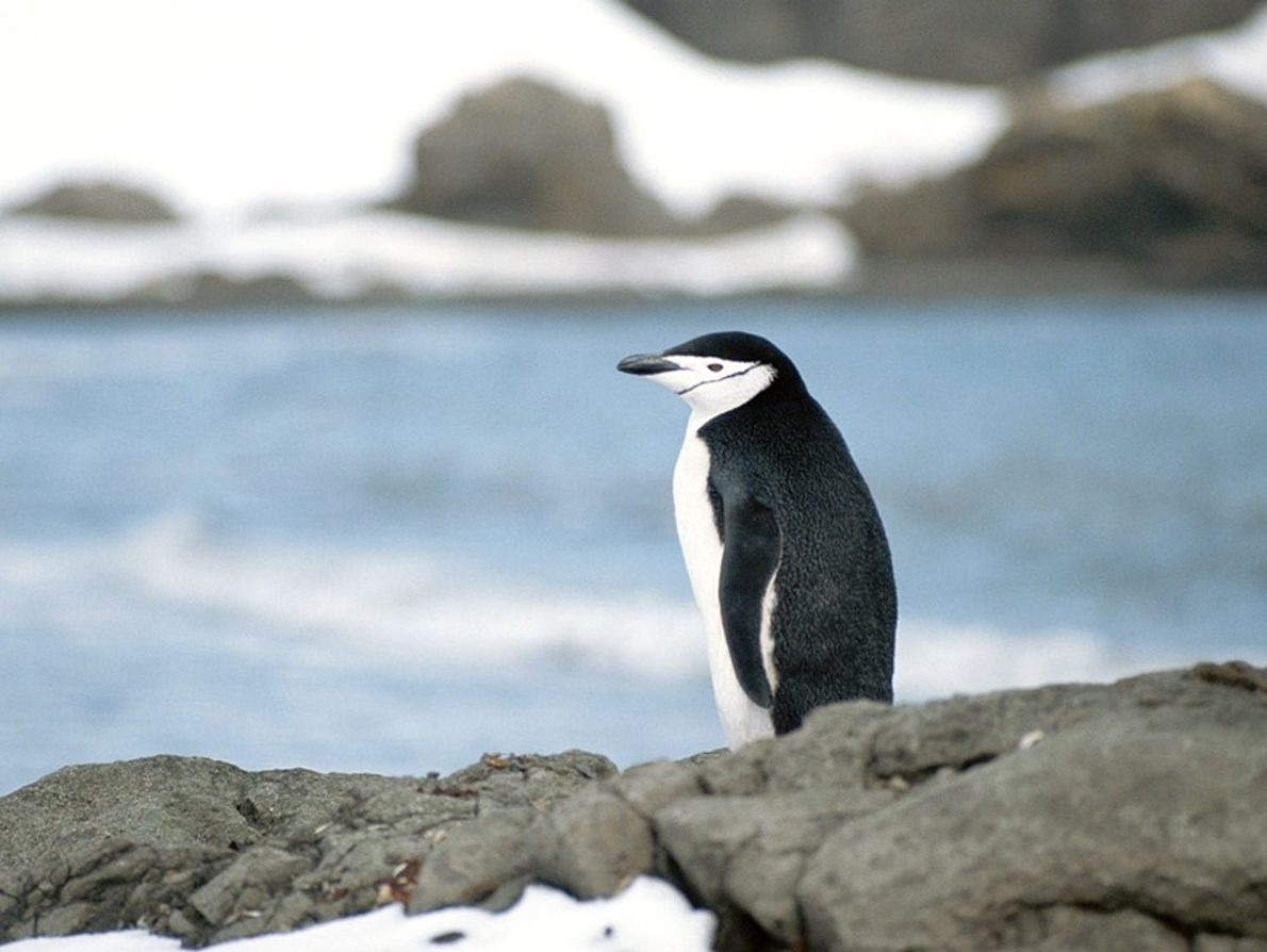 A chinstrap penguin gazes out from the rocky coast of King George Island in Antarctica.