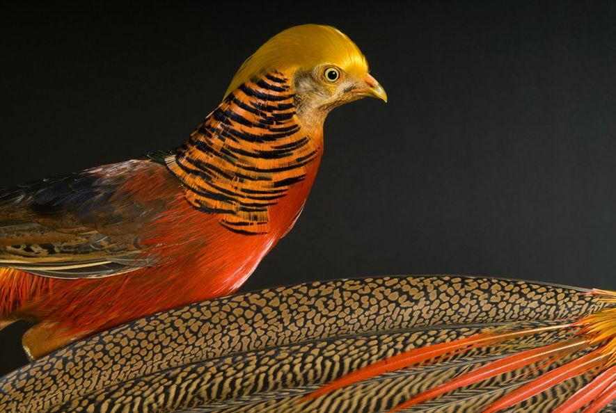 Pictured are two golden pheasants (Chrysolophus pictus), a species native to mountainous forests of western China. ...