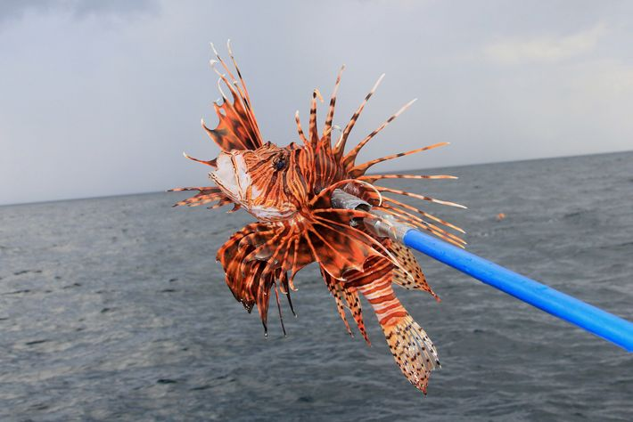 Tens of thousands of lionfish have been harvested from the waters off Fort Walton Beach near ...
