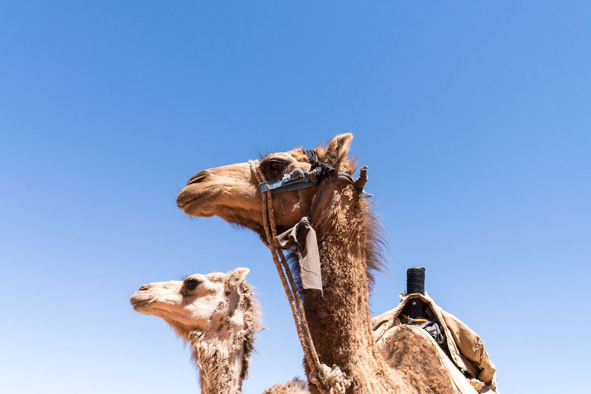 Camels against the blue sky.