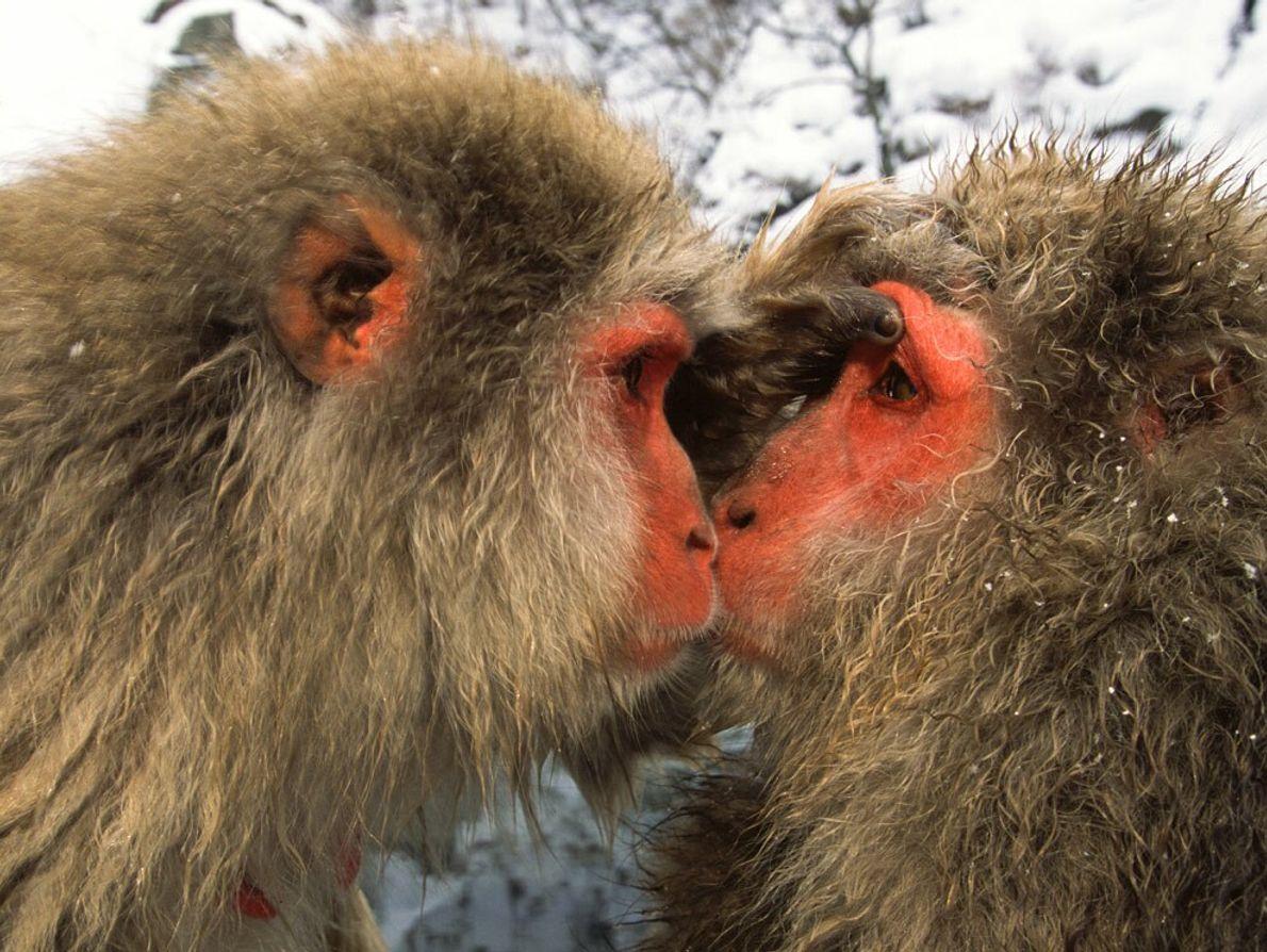 Japanese Macaques, Honshu