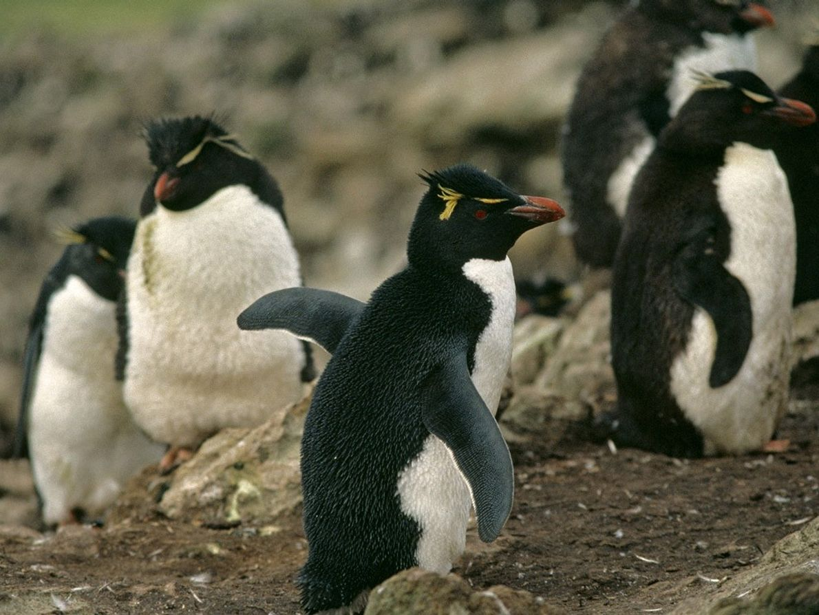 Rockhopper penguins wear wispy, yellow-feathered crests on their heads. They make their homes on the rocky ...