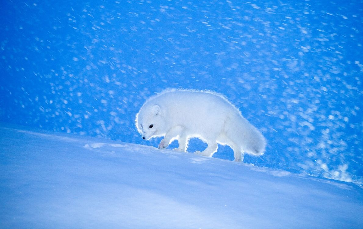 Shortlisted in the 'Incredible Wildlife' category, this image of an arctic fox in the Norwegian archipelago ...