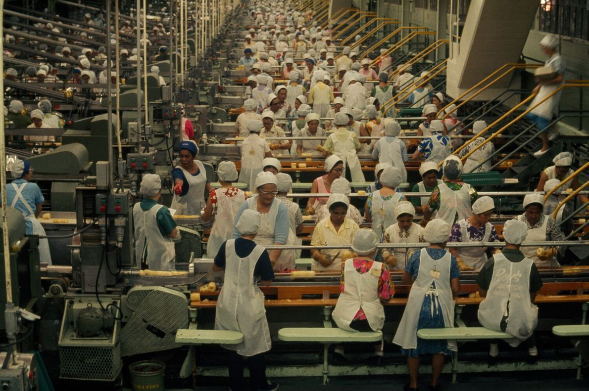 Picture of women in aprons and hair coverings working assembly lines of pineapples at a cannery ...