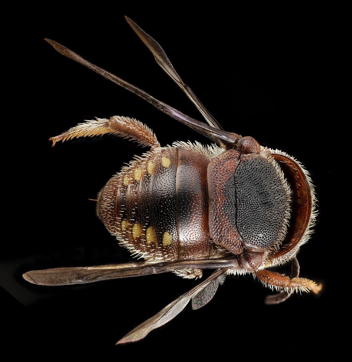 This girl is far from home. A Pachyanthidium, this bee is native to Africa.
