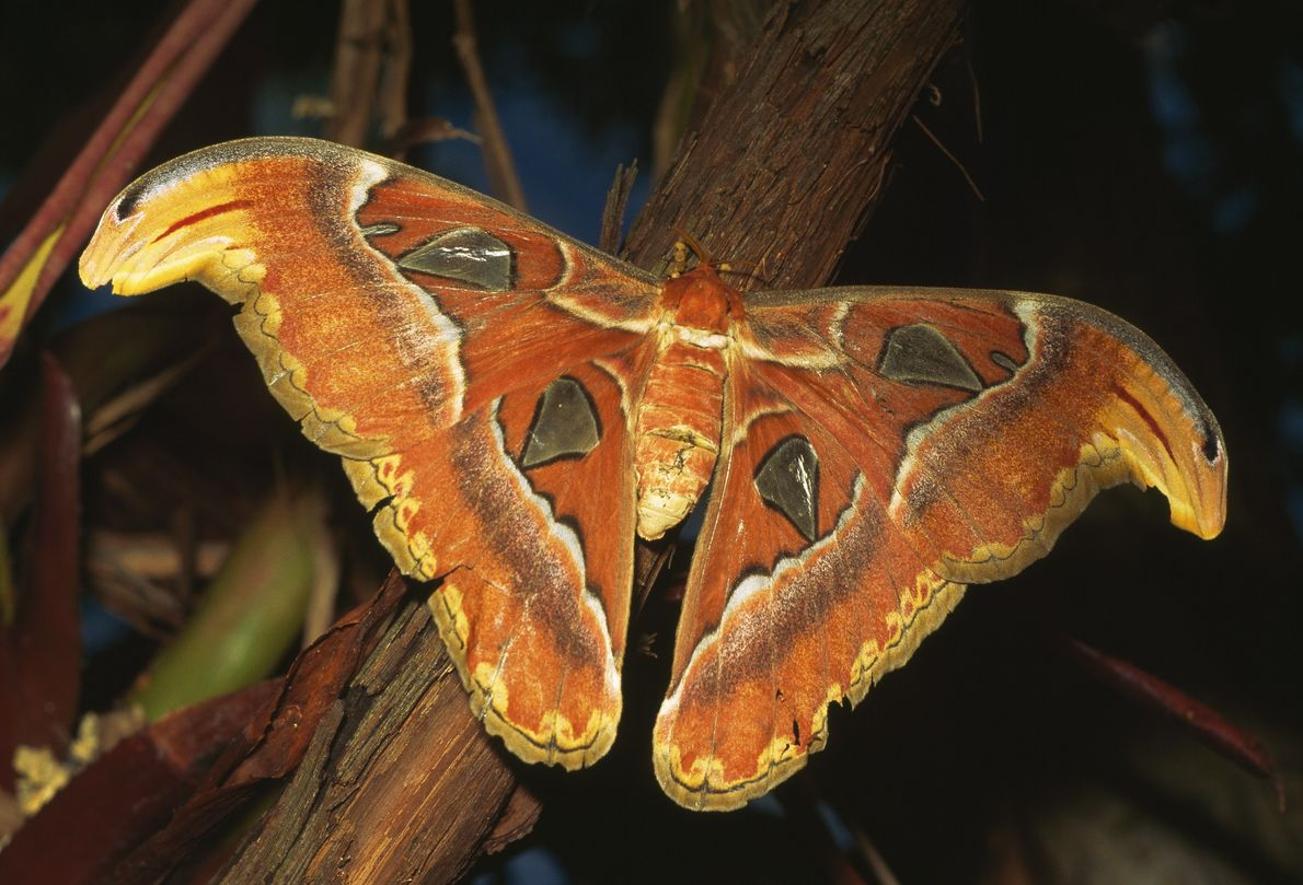 The atlas moth, Attacus atlas, is native to Southeast Asia, southern China, and India. A giant ...