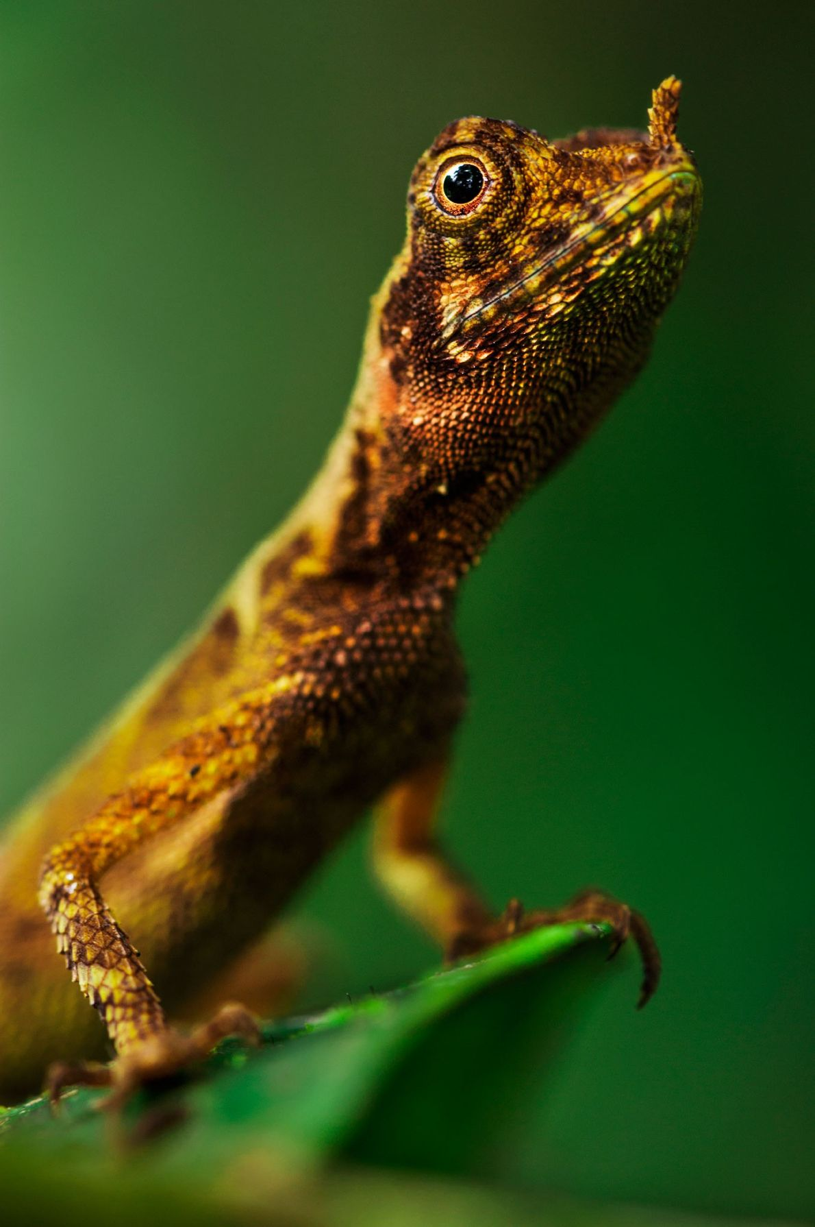 A leaf-nosed crested lizard keeps its head up in the Danum Valley of Borneo Island, Malaysia.
