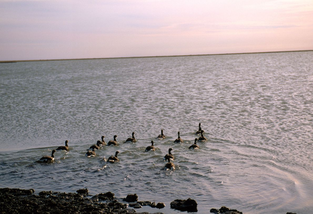 A flock of black brant geese swimming away from shore.