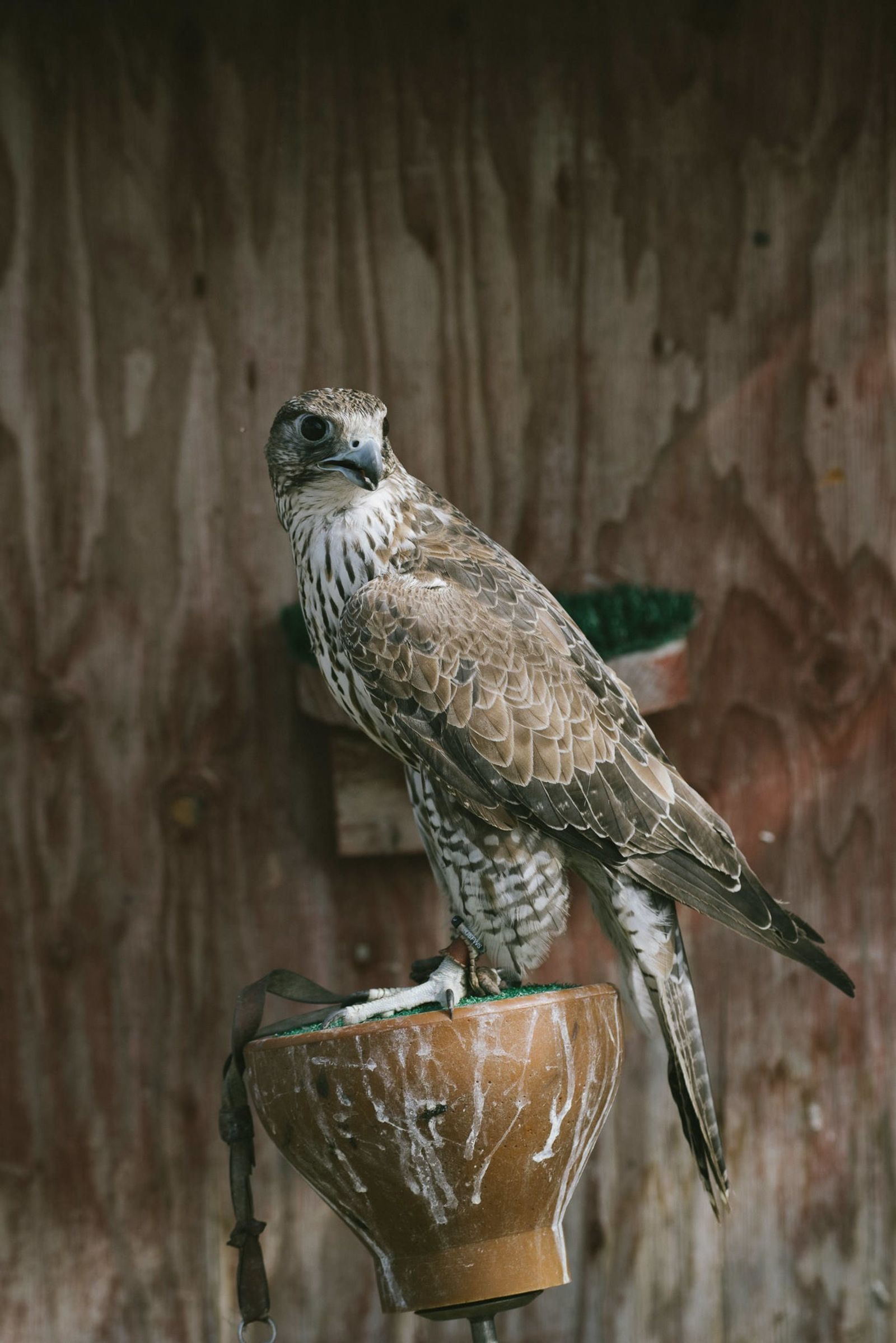 """This gyrfalcon, in Nome, Alaska, is cared for by local falconer John Earthman. """"They're very engaging ..."""