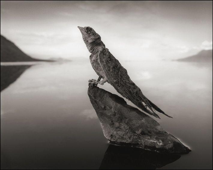 Stony Swallow