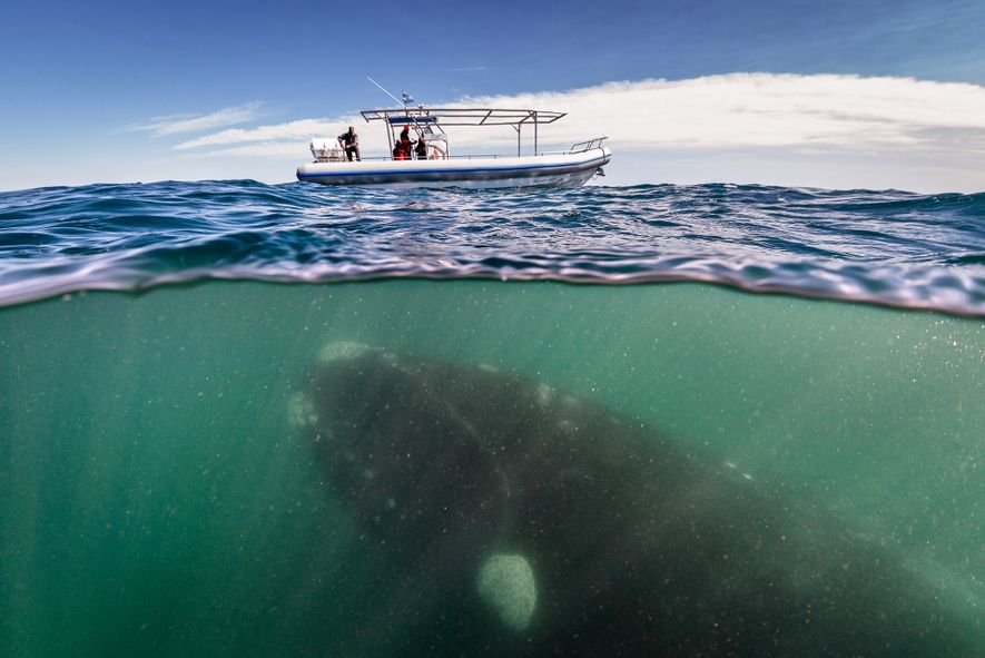 1 right whale photographer close up hofman linblad